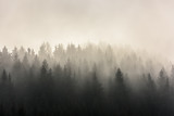Pine Forests. Misty morning view in wet mountain area. - 187495651