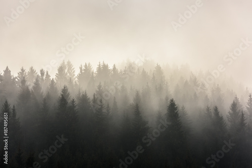 Fototapeta Pine Forests. Misty morning view in wet mountain area.