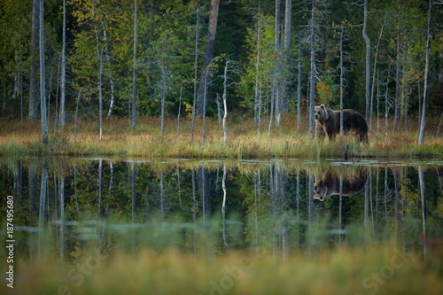 Fotobehang Natuur Ursus arctos. The brown bear is the largest predator in Europe. He lives in Europe, Asia and North America. Wildlife of Finland. Photographed in Finland-Karelia. Beautiful picture. From the life of th
