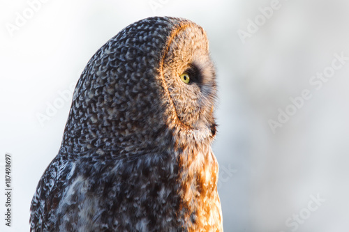 Great Gray Owl Profile-5375