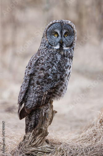 Great Grey Owl Portrait-8489