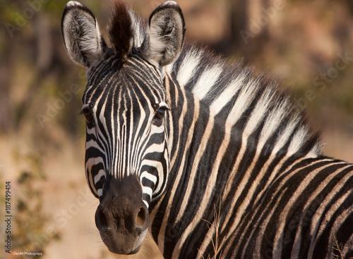 Zebra Eye Contact Poster