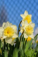 Blühende Osterglocken im Frühling