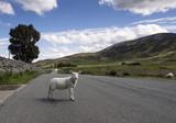 lamb in road on isle of skye - 187510278