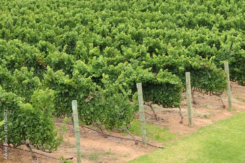 Poster Wijngaard A vineyard on a wine farm near Stellenbosch, South Africa.