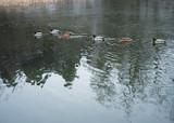 Ducks - 187518491