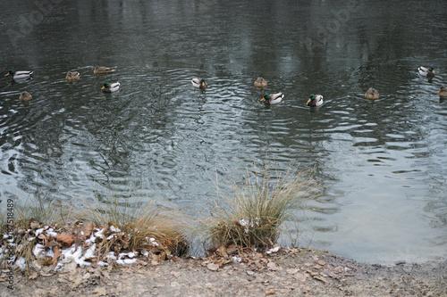 Fotobehang Natuur Ducks