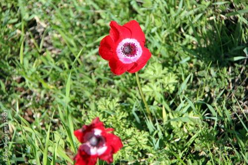 Foto op Canvas Klaprozen flowers