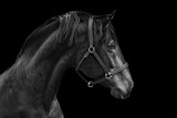 Portrait of a horse on a black background in Black and white - 187525403