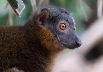 red-collared lemur closeup