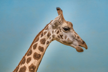 Rothschild's and reticulated giraffes
