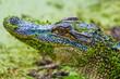 Juvenile alligator, Pinckney Island National Wildlife Refuge, Hilton Head, SC