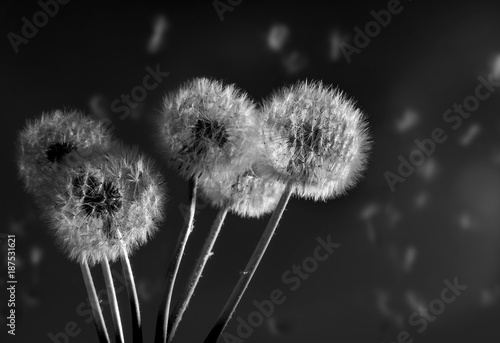 Dandelion on a black background in the dark at sunlight. © Andrii