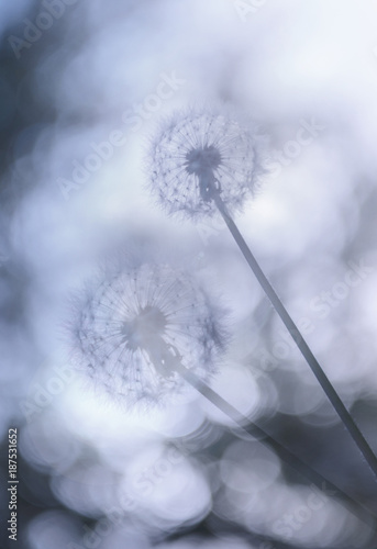 Dandelions against a beautiful blurred sky - 187531652