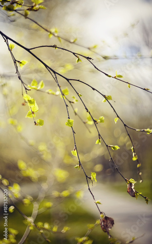 Àppearing leaves on birch branches in the spring. - 187532020
