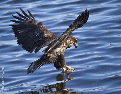 Plexiglas Eagle Juvenille Bald Eagle catching fish