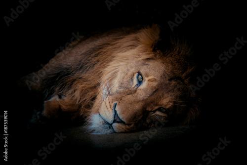 Lion portrait on black background