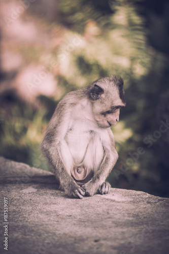 Aluminium Aap Portrait of brown macaque monkey sitting on road