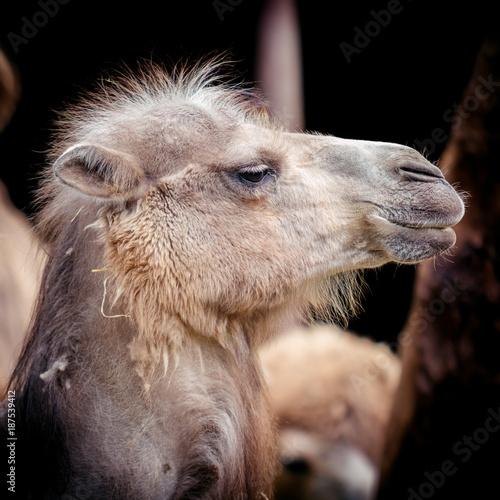 Fotobehang Kameel Portrait of camel. Camelus bactrianus