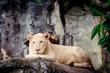 Female white lion. A white liones