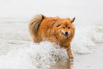 elo dog runs at the seafront through the water