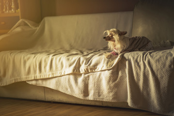 Cute little chinese crested dog enjoying sunset from its favorite spot on the sofa