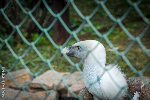 Plexiglas Eagle Wild eagle is sitting behind bars