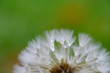 Dandelion macro on a rainy day - 187558498