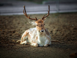 Beautiful Young Male Deer Resting on the ground - 187562081