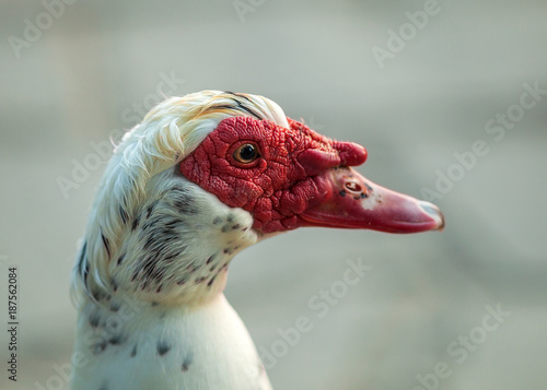 Foto Murales Portrait of Goose with Red Caruncle, close up