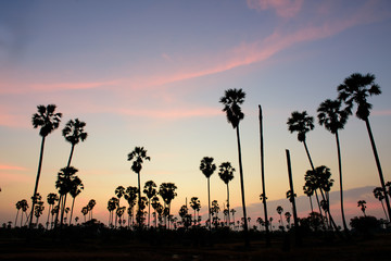 Sunset in the palm tree field