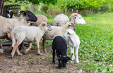 Sheeps in farm on a grass - 187566290
