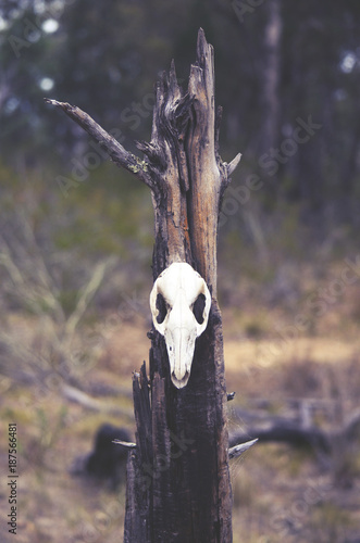 Kangaroo skull on tree stump in forest. Moody, dark, pagan and animal totem concepts. - 187566481