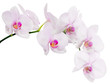 isolated branch with seven light pink orchid blooms