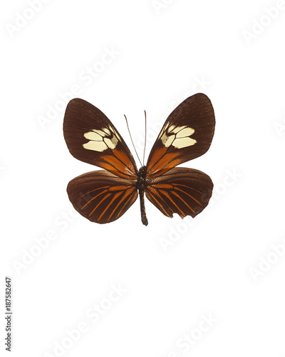 Fotobehang Vlinder Taxidermy - White, brown and red fritillary butterfly, isolated on white