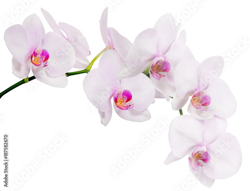 Fototapeta isolated branch with seven light pink orchid blooms