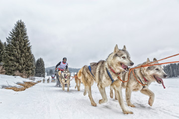 Sled dog racing alaskan malamute snow winter competition race