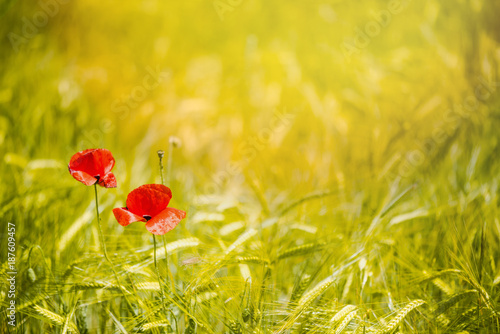 Aluminium Klaprozen Abstract image of poppy in wheat crop field