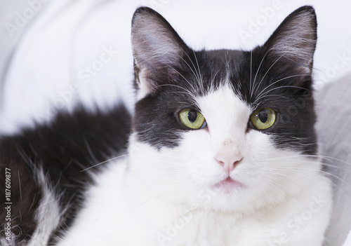 Fotobehang Kat White domestic cat with black spots