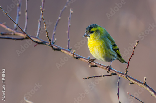 Foto Murales Eurasian siskin sitting on a branch