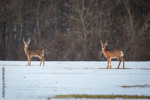 Aluminium Hert Group of young deer in the forest