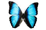 бабочка синего цвета Mariposa Morpho изолировано на белом - 187631494
