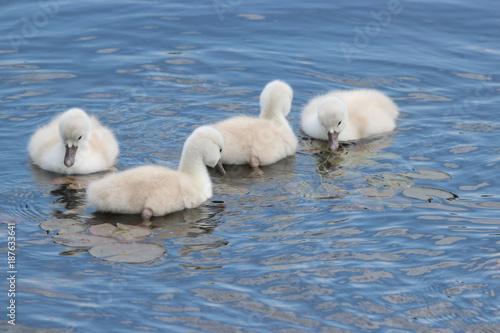 Fotobehang Zwaan Swan Siblings