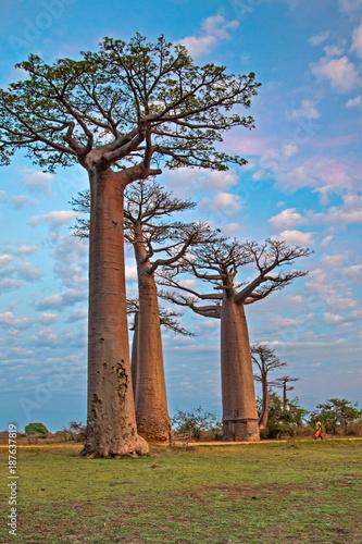Aluminium Baobab Beautiful Baobab trees at sunset at the avenue of the baobabs in Madagascar