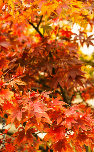 red leaf in autumn - 187646284