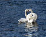 Romantic image of two white swans mating. - 187648009