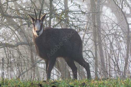 Aluminium Hert Wildes Tier in der Natur - Reh in der Morgensonne