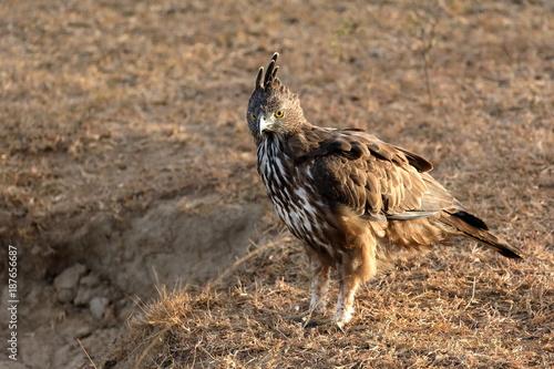 Plexiglas Eagle Haubenadler im Yala Nationalpark in Sri Lanka