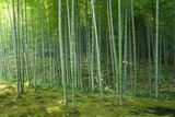 Fototapeta Bambus - Bamboo forest at Kyoto, Japan © jcg_oida