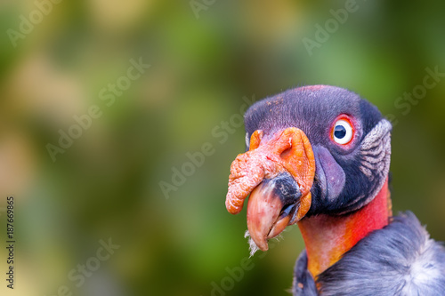 Foto Murales Closeup King Vulture Face With Copy Space